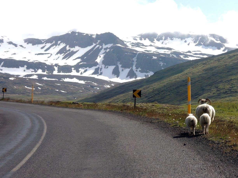 islande randonnée moutons