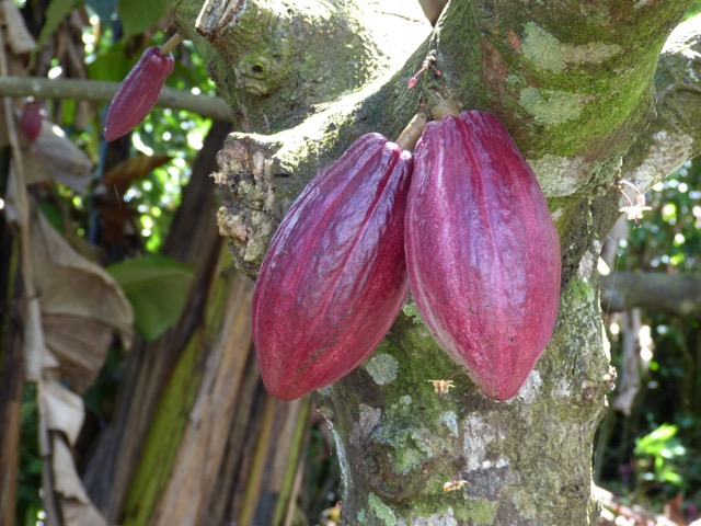 cabosses cacao