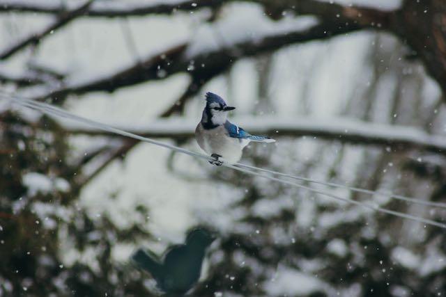 oiseau bleu neige