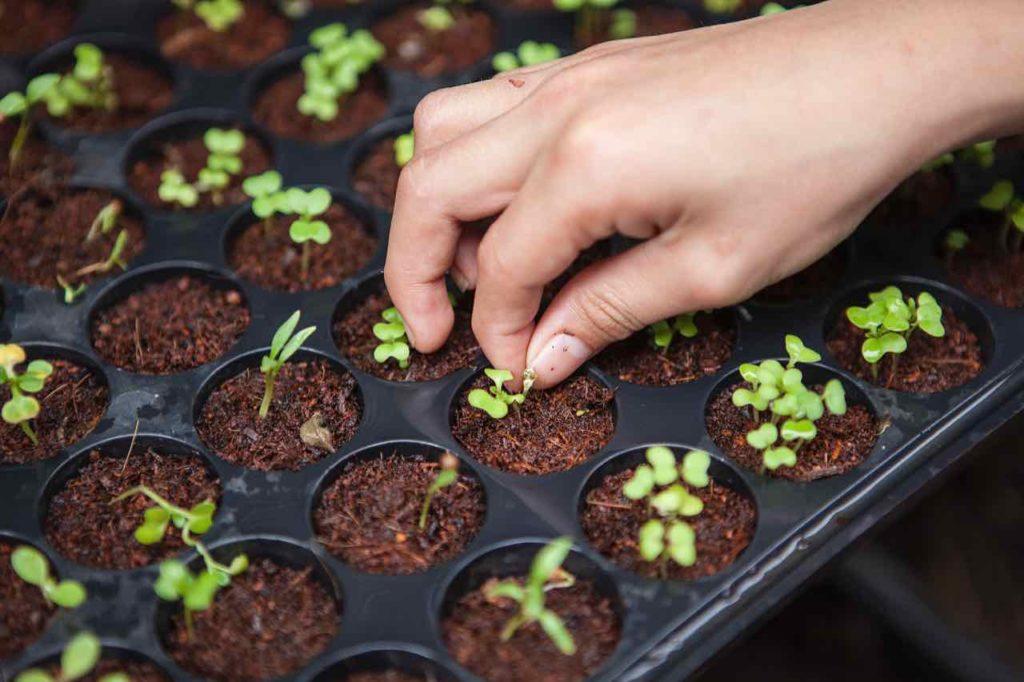 semis pousses jardin