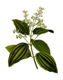 cannelle de chine huile essentielle